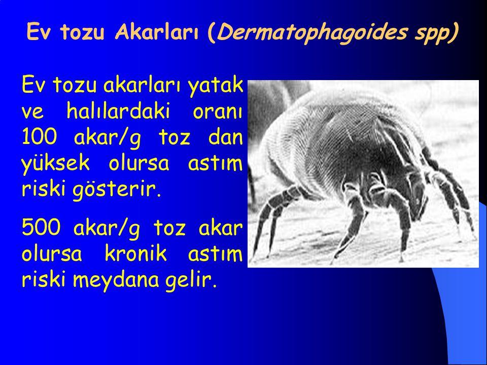 Ev tozu Akarları (Dermatophagoides spp)