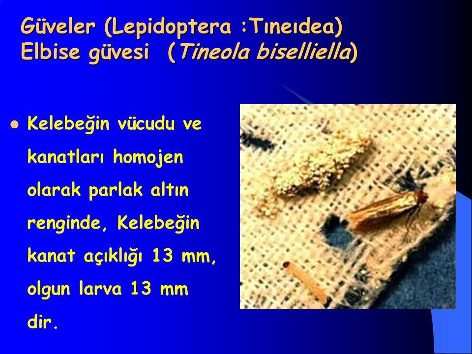 Güveler (Lepidoptera :Tıneıdea) Elbise güvesi (Tineola biselliella)