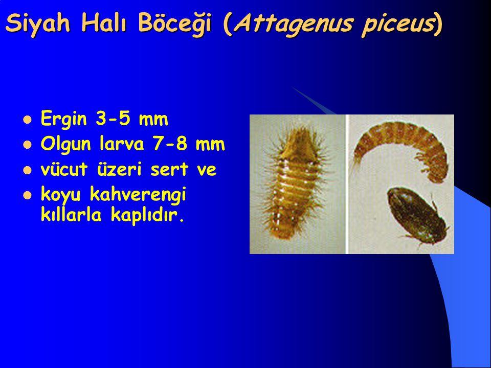 Siyah Halı Böceği (Attagenus piceus)