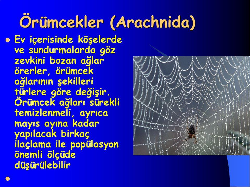 Örümcekler (Arachnida)