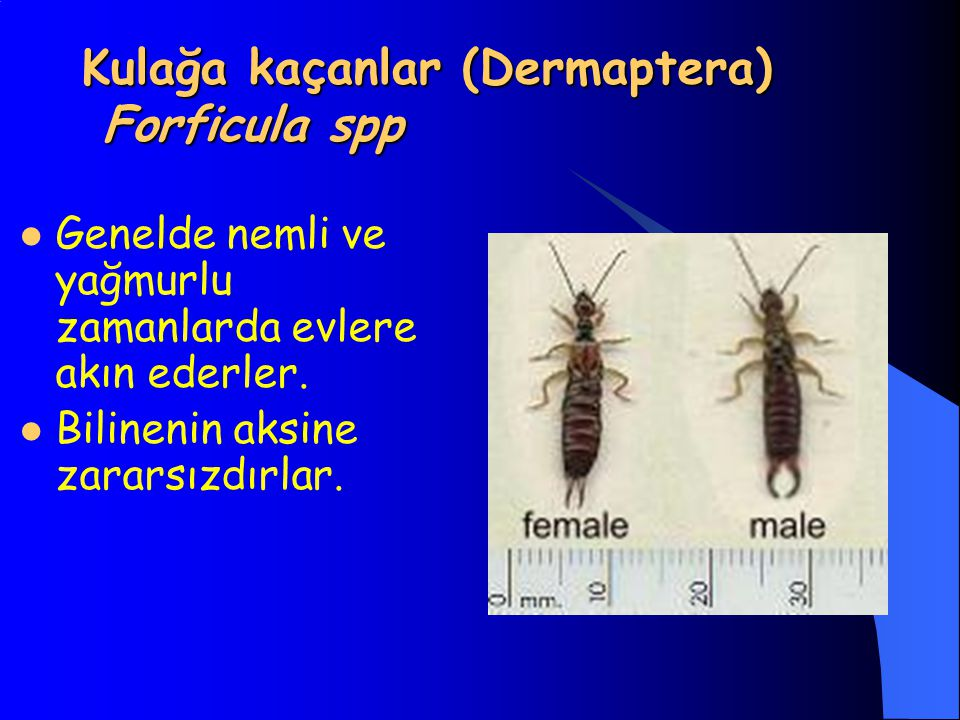 Kulağa kaçanlar (Dermaptera) Forficula spp