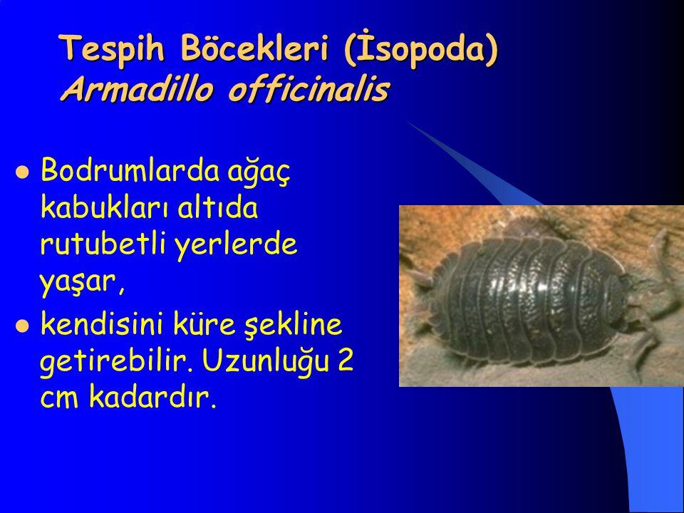 Tespih Böcekleri (İsopoda) Armadillo officinalis