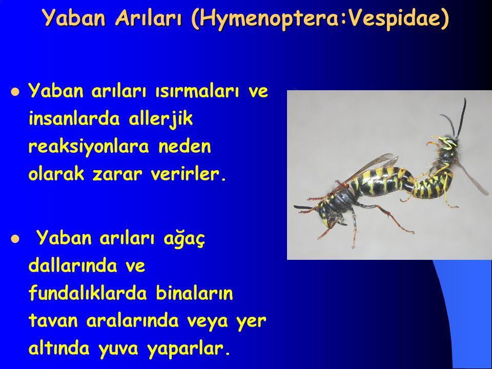 Yaban Arıları (Hymenoptera:Vespidae)