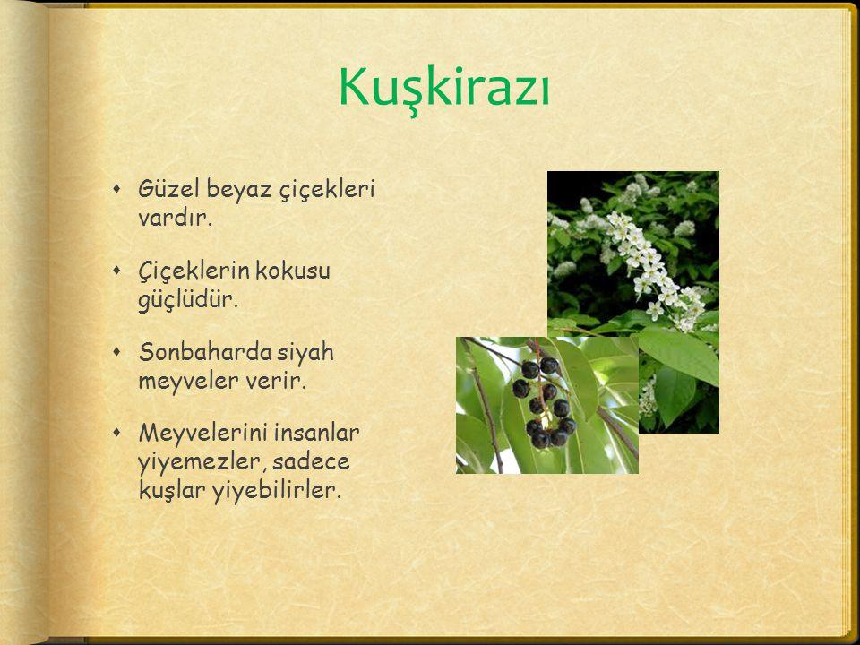 Kuşkirazı Güzel beyaz çiçekleri vardır. Çiçeklerin kokusu güçlüdür.