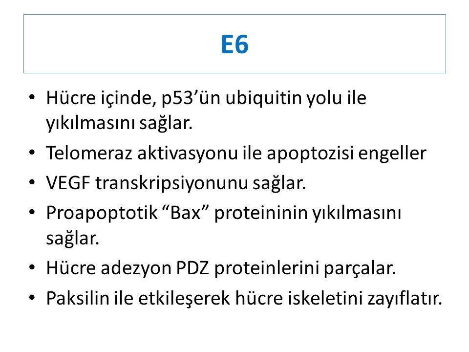 E6 Hücre içinde, p53'ün ubiquitin yolu ile yıkılmasını sağlar.