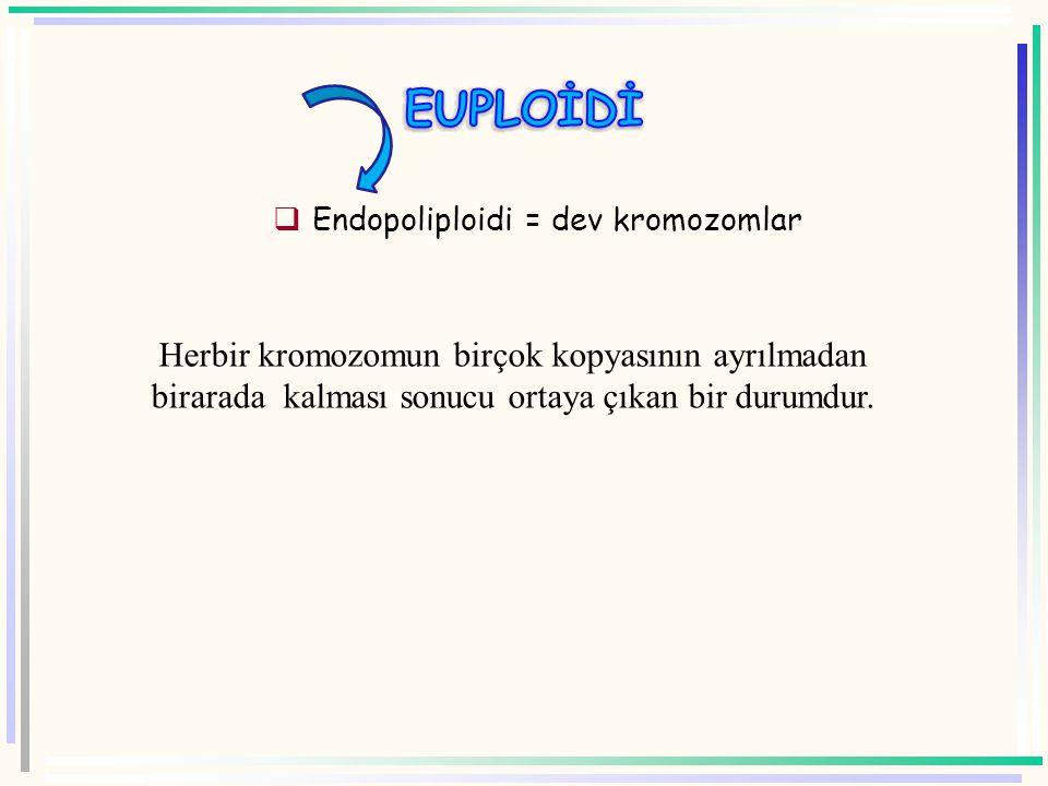 Endopoliploidi = dev kromozomlar