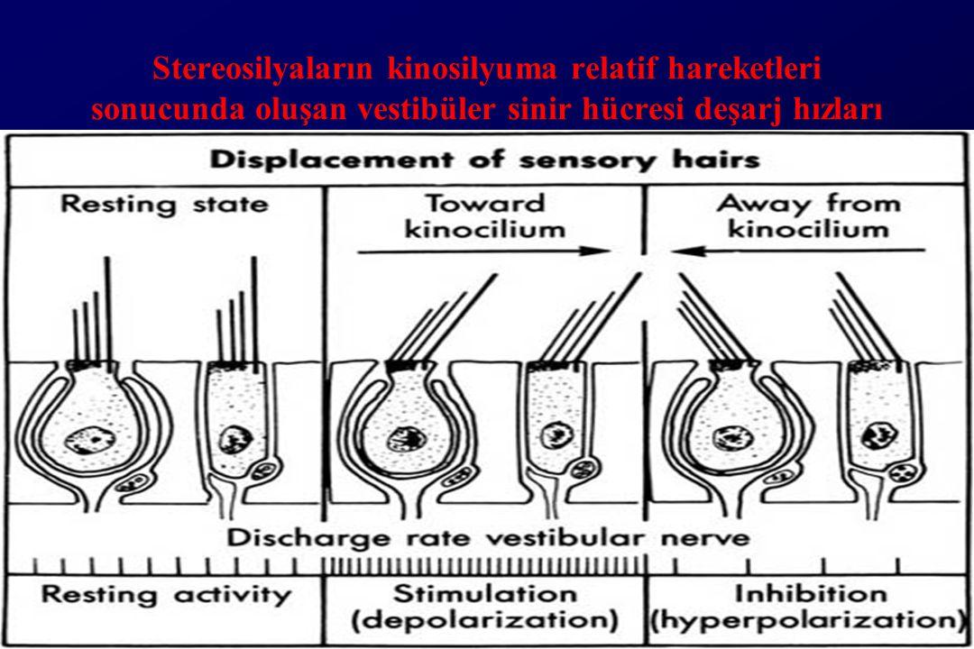 Stereosilyaların kinosilyuma relatif hareketleri sonucunda oluşan vestibüler sinir hücresi deşarj hızları