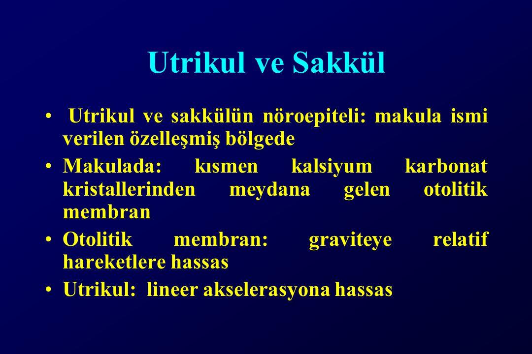 Utrikul ve Sakkül Utrikul ve sakkülün nöroepiteli: makula ismi verilen özelleşmiş bölgede.