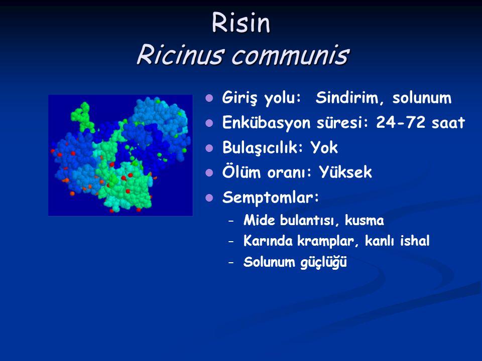 Risin Ricinus communis Giriş yolu: Sindirim, solunum