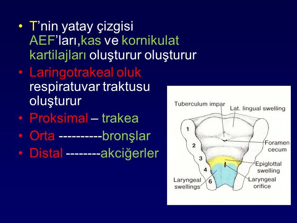 T'nin yatay çizgisi AEF'ları,kas ve kornikulat kartilajları oluşturur oluşturur