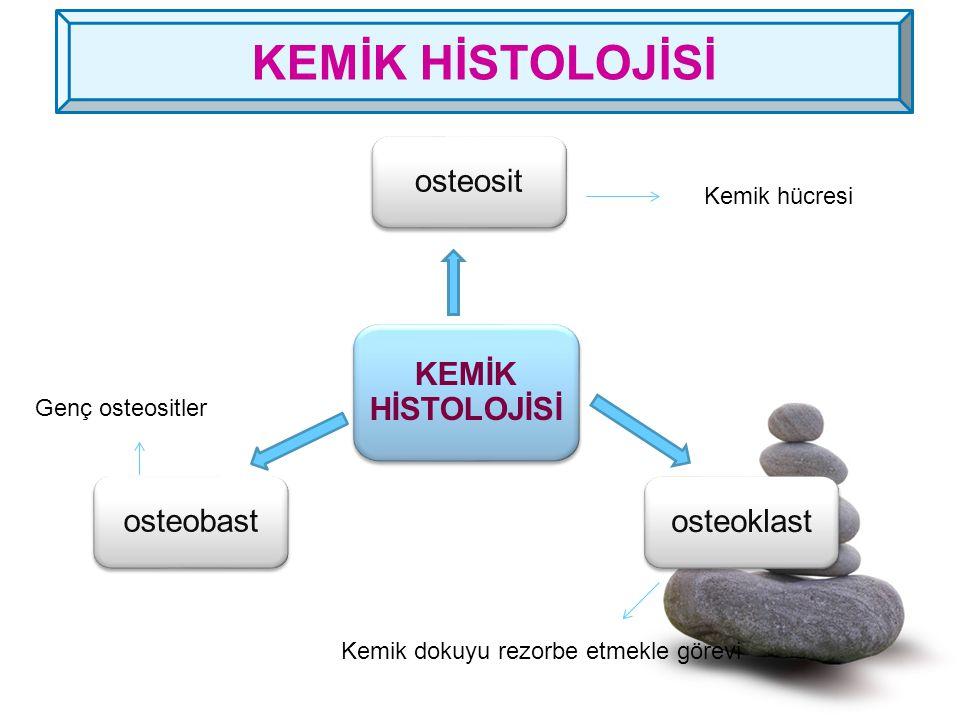 KEMİK HİSTOLOJİSİ osteosit KEMİK HİSTOLOJİSİ osteobast osteoklast