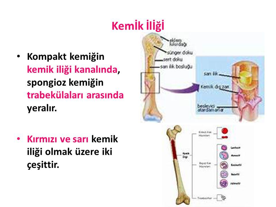 Kemİk İlİğİ Kompakt kemiğin kemik iliği kanalında, spongioz kemiğin trabekülaları arasında yeralır.