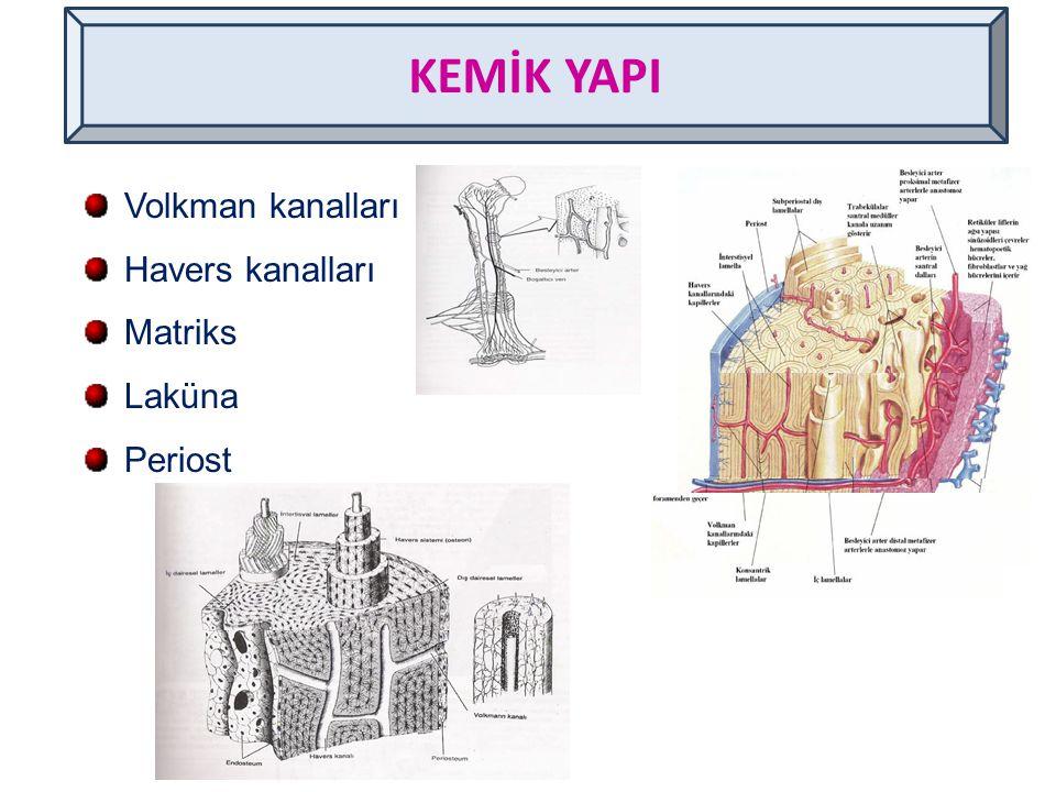 KEMİK YAPI Volkman kanalları Havers kanalları Matriks Laküna Periost