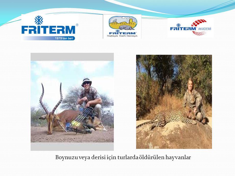 Boynuzu veya derisi için turlarda öldürülen hayvanlar