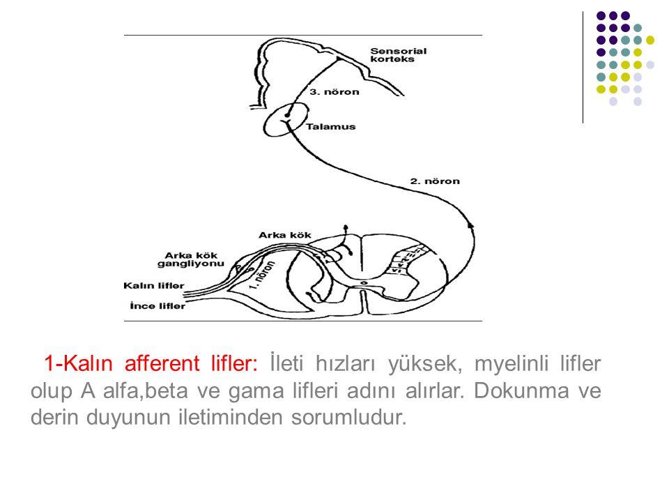 1-Kalın afferent lifler: İleti hızları yüksek, myelinli lifler olup A alfa,beta ve gama lifleri adını alırlar.