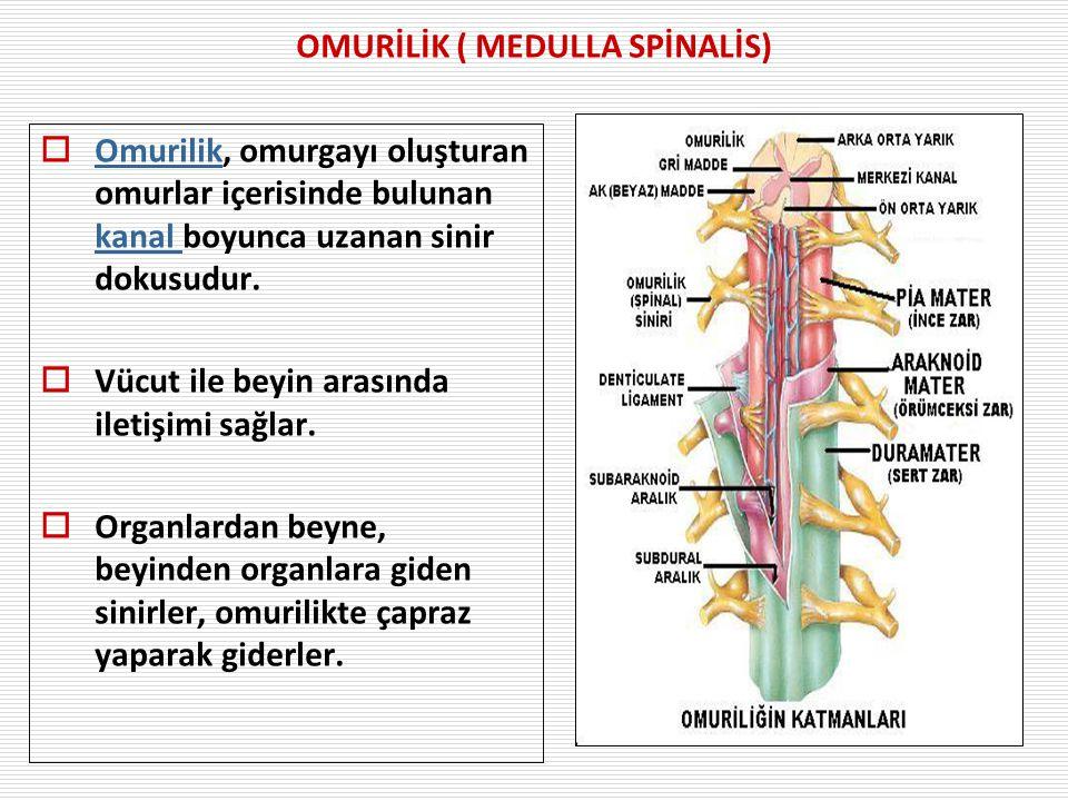 OMURİLİK ( MEDULLA SPİNALİS)