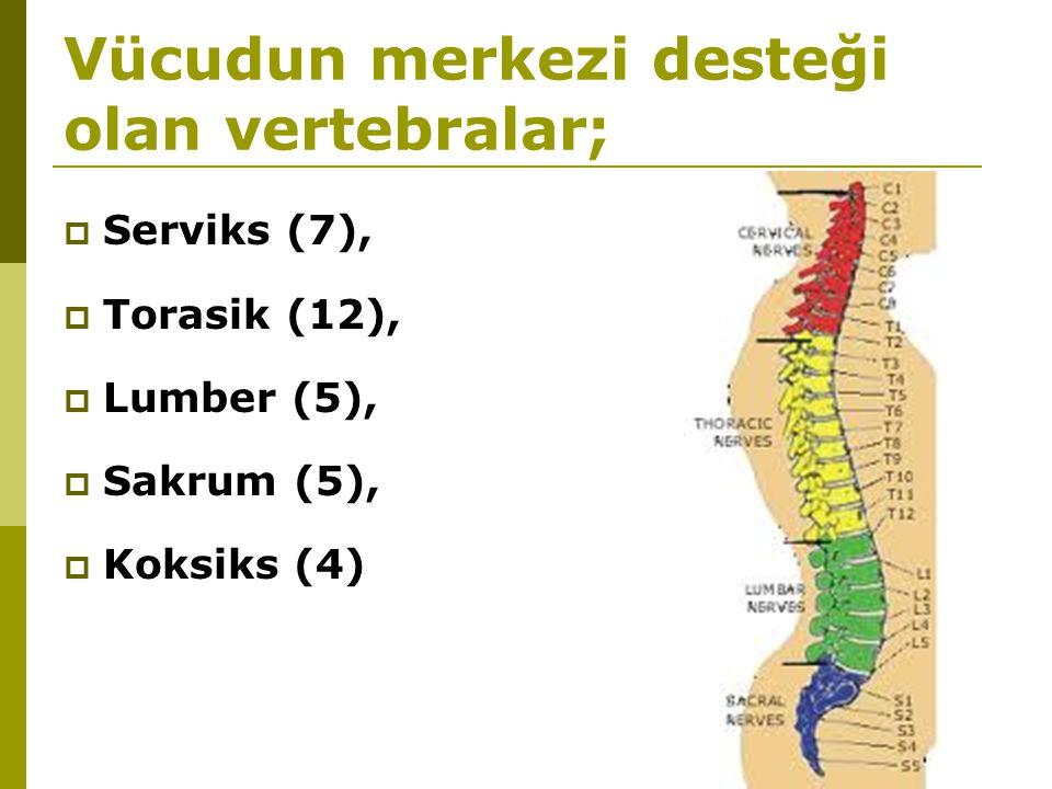 Vücudun merkezi desteği olan vertebralar;