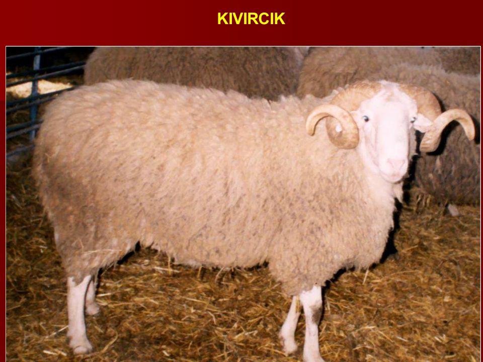 KIVIRCIK