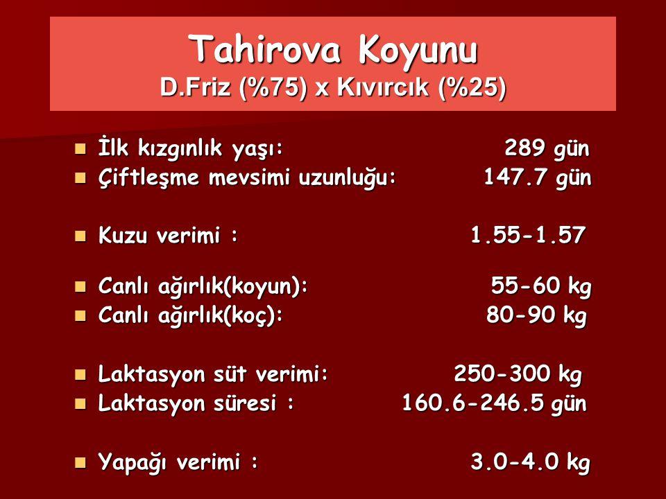 Tahirova Koyunu D.Friz (%75) x Kıvırcık (%25)