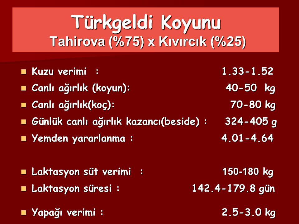 Türkgeldi Koyunu Tahirova (%75) x Kıvırcık (%25)