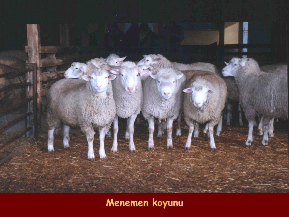 Menemen koyunu