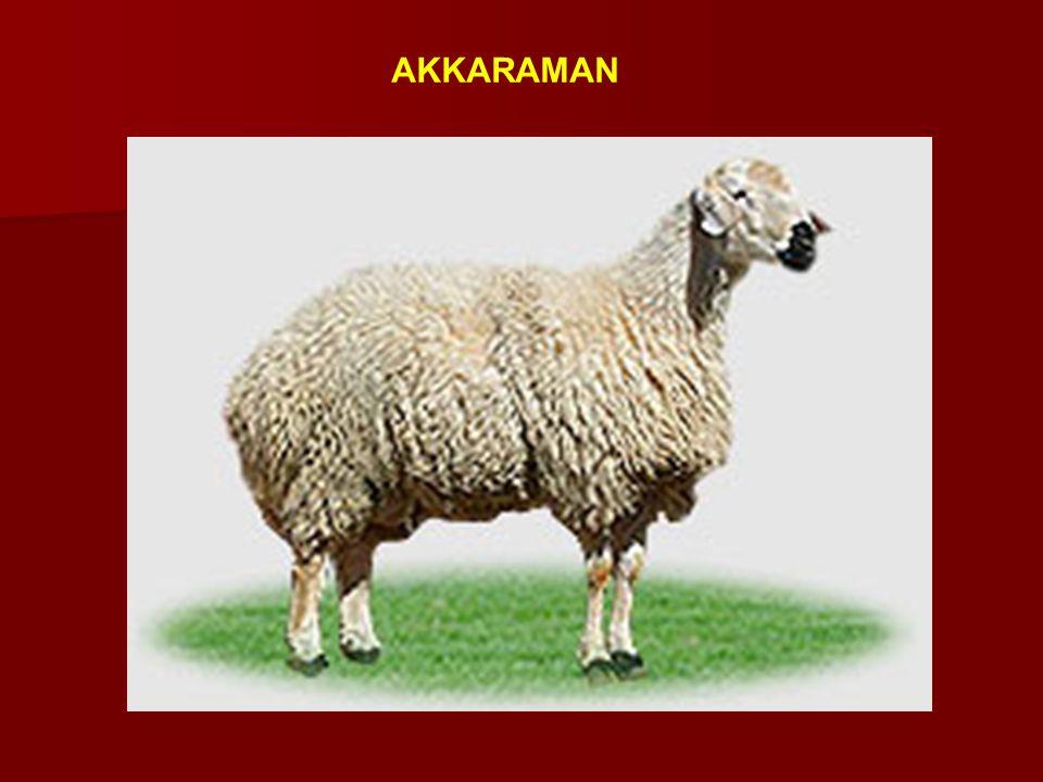 AKKARAMAN