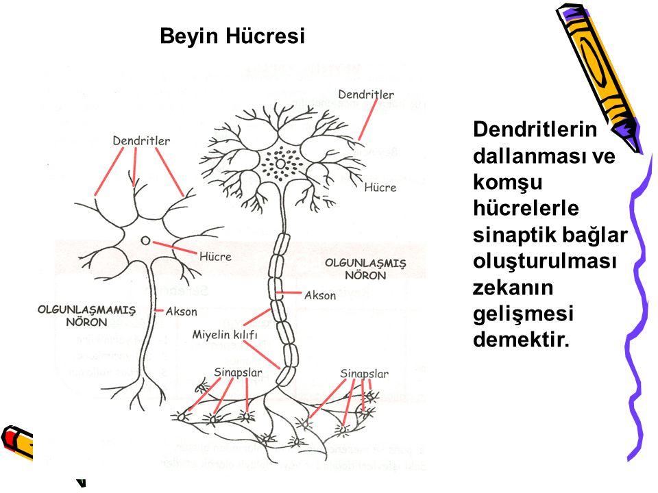 Beyin Hücresi Dendritlerin dallanması ve komşu hücrelerle sinaptik bağlar oluşturulması zekanın gelişmesi demektir.