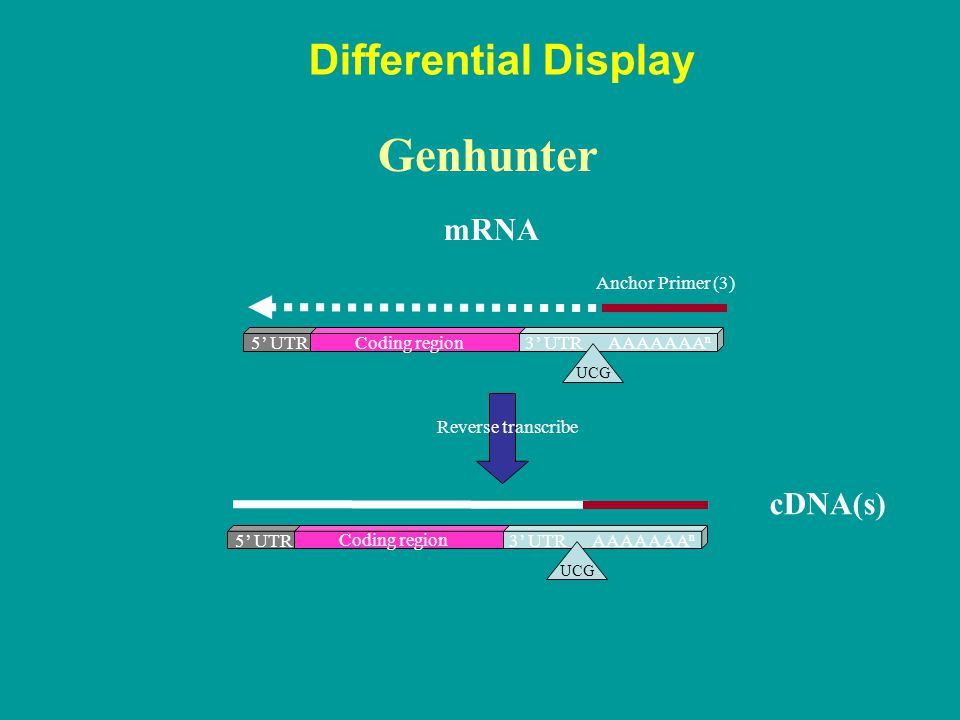 Genhunter Differential Display mRNA cDNA(s) Anchor Primer (3) 5' UTR