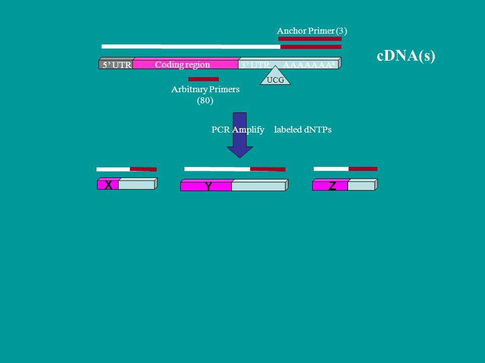 cDNA(s) X Y Z Anchor Primer (3) 5' UTR Coding region 3' UTR AAAAAAAn