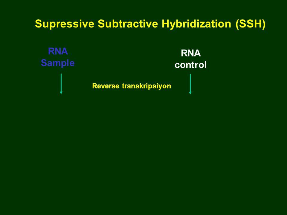 Supressive Subtractive Hybridization (SSH) Reverse transkripsiyon