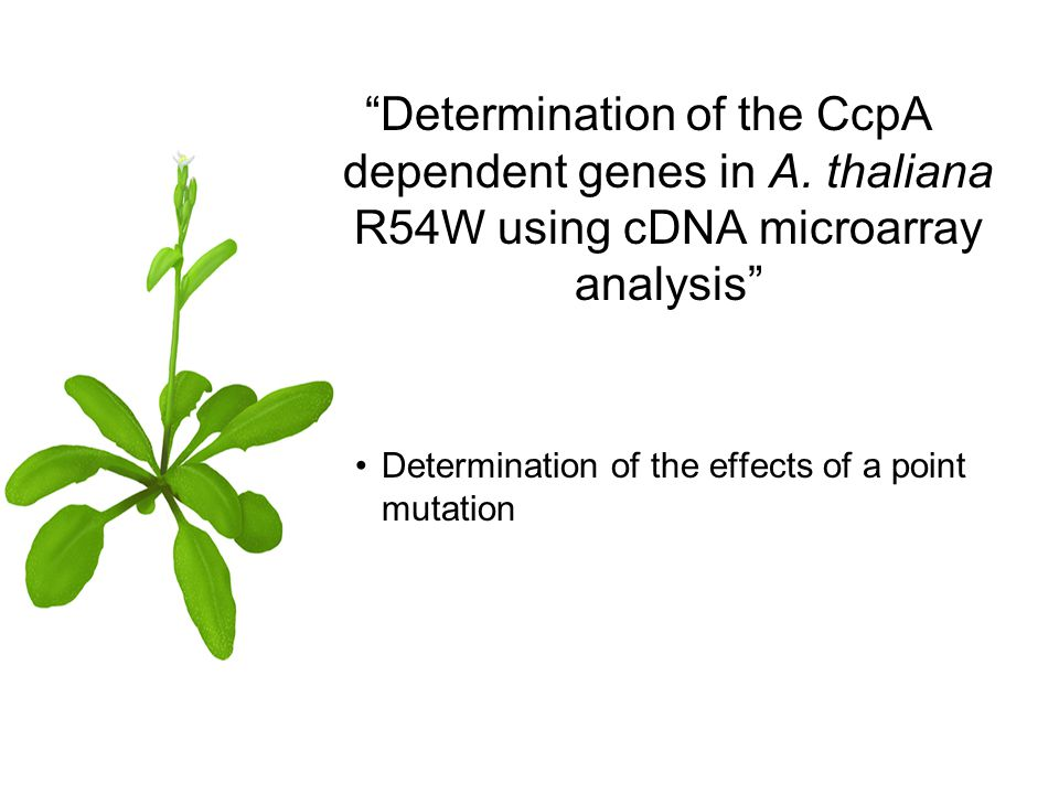 Determination of the CcpA dependent genes in A