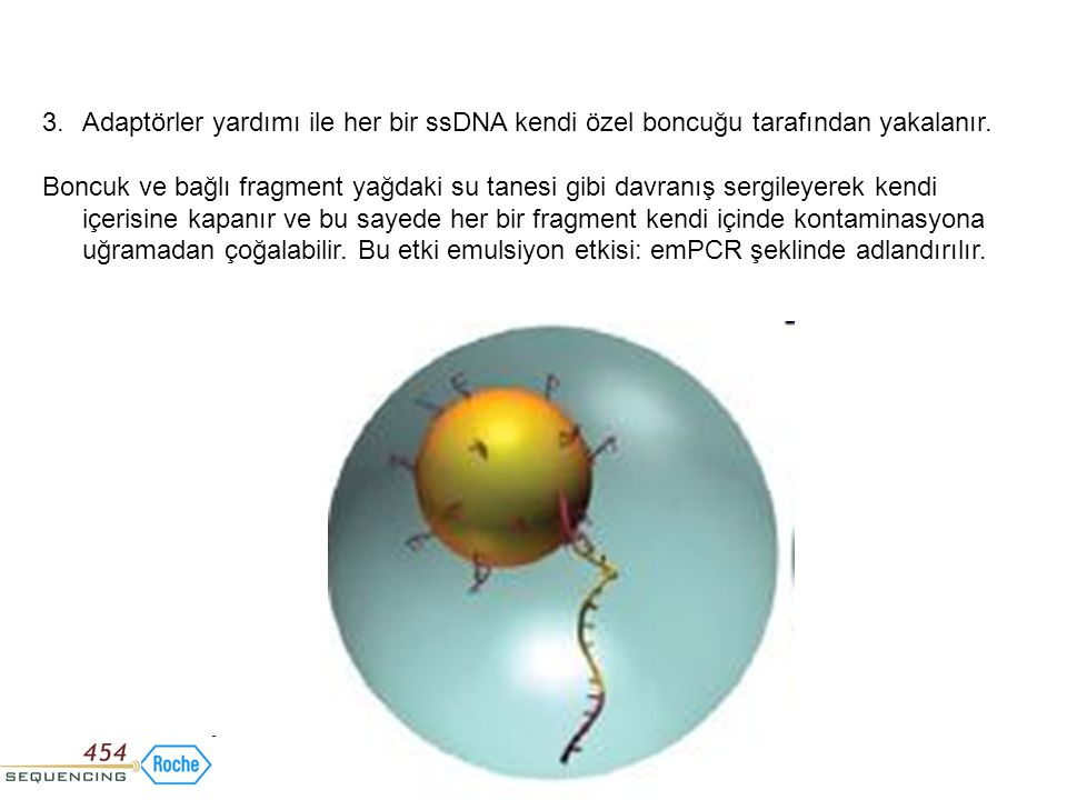 Adaptörler yardımı ile her bir ssDNA kendi özel boncuğu tarafından yakalanır.