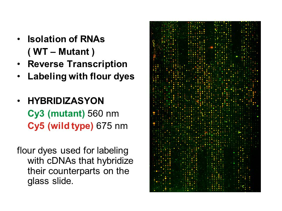 Isolation of RNAs ( WT – Mutant ) Reverse Transcription. Labeling with flour dyes. HYBRIDIZASYON.