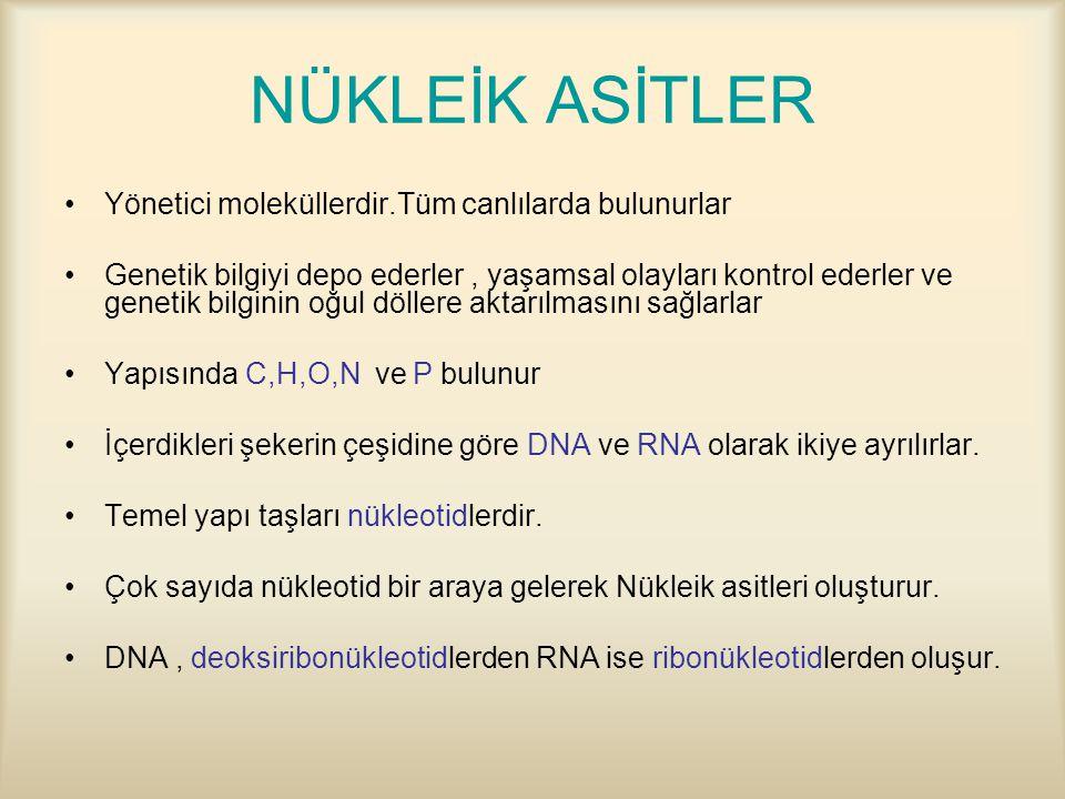 NÜKLEİK ASİTLER Yönetici moleküllerdir.Tüm canlılarda bulunurlar