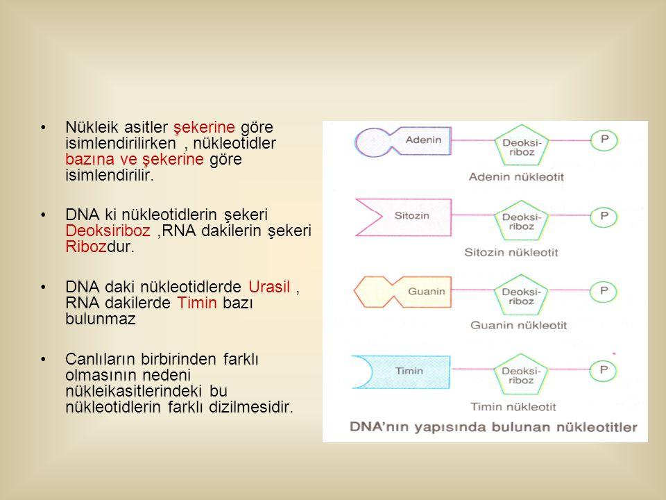 Nükleik asitler şekerine göre isimlendirilirken , nükleotidler bazına ve şekerine göre isimlendirilir.