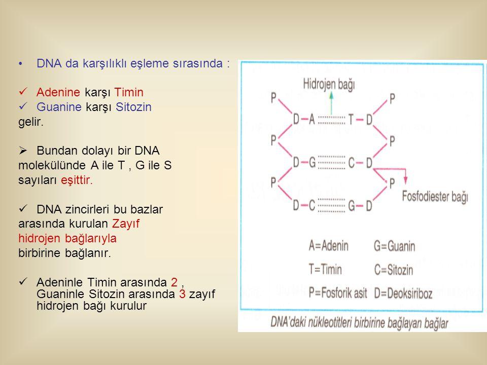DNA da karşılıklı eşleme sırasında :