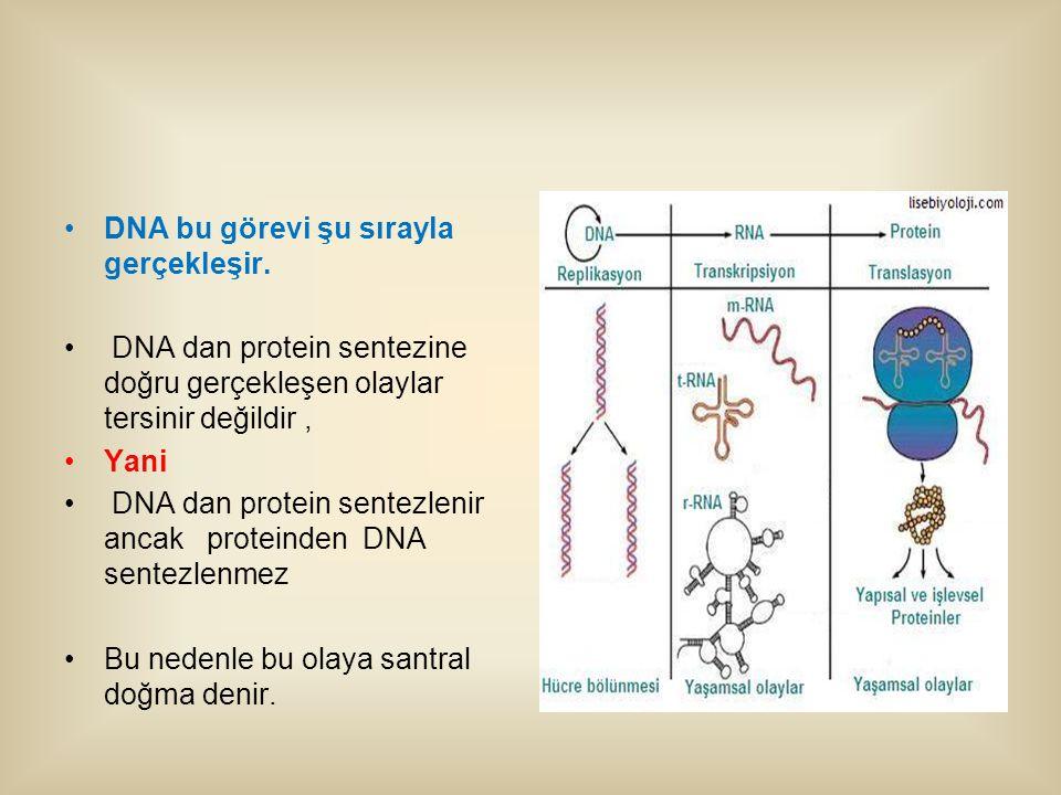 DNA bu görevi şu sırayla gerçekleşir.