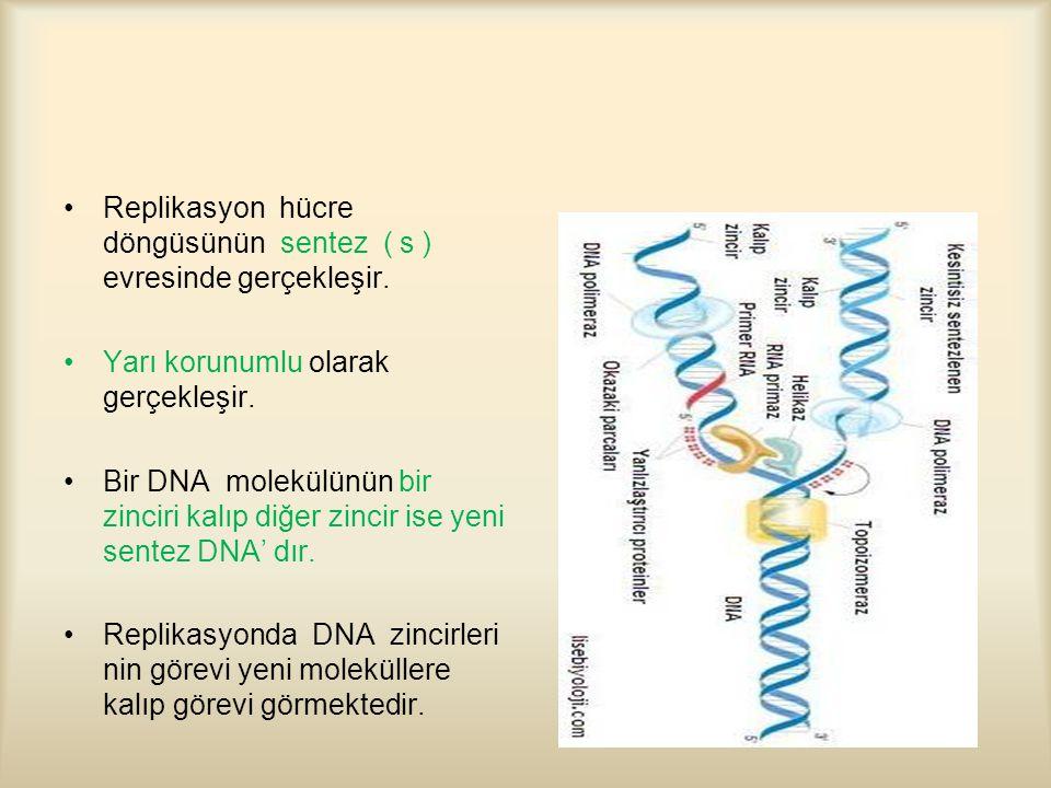 Replikasyon hücre döngüsünün sentez ( s ) evresinde gerçekleşir.