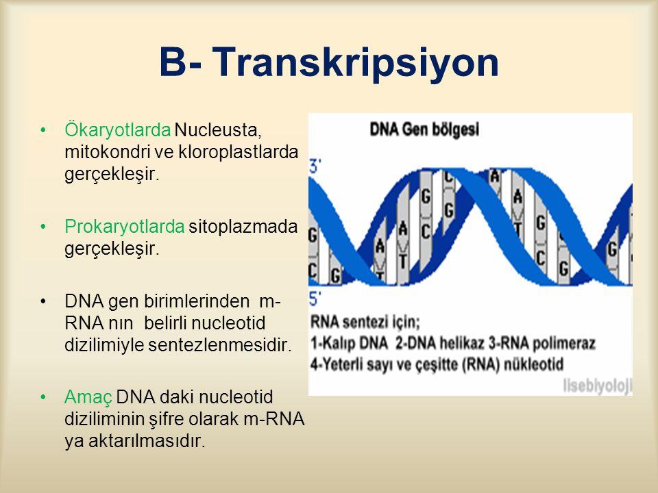 B- Transkripsiyon Ökaryotlarda Nucleusta, mitokondri ve kloroplastlarda gerçekleşir. Prokaryotlarda sitoplazmada gerçekleşir.