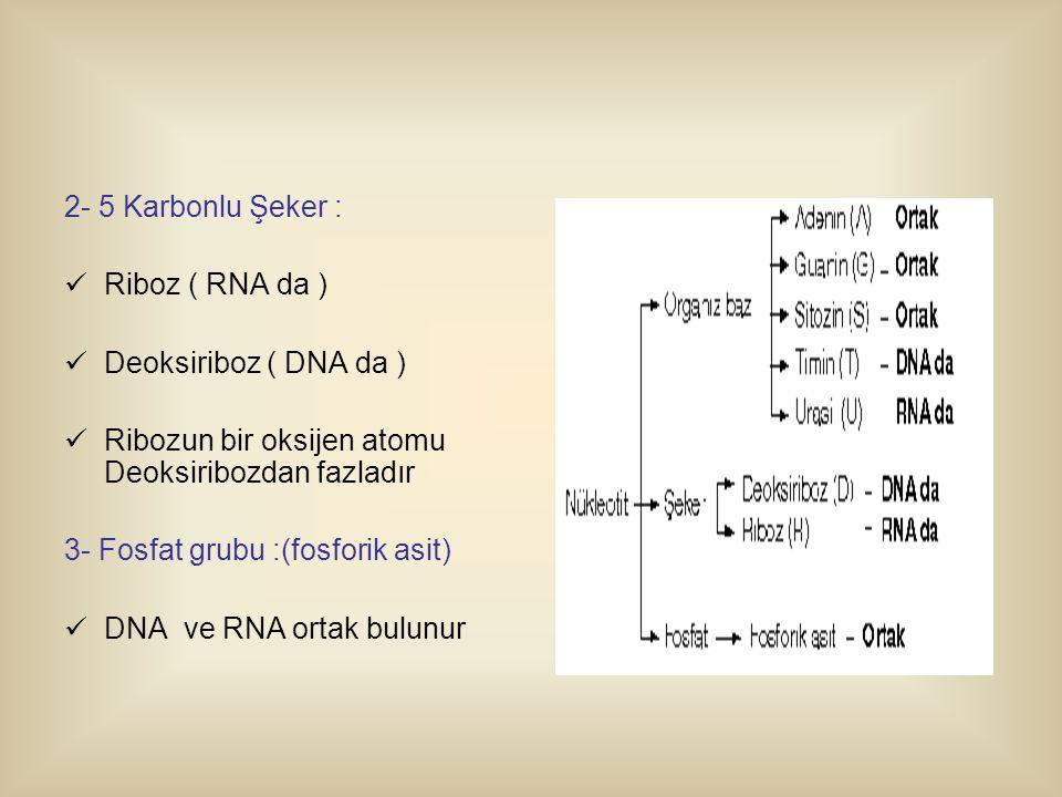 2- 5 Karbonlu Şeker : Riboz ( RNA da ) Deoksiriboz ( DNA da ) Ribozun bir oksijen atomu Deoksiribozdan fazladır.