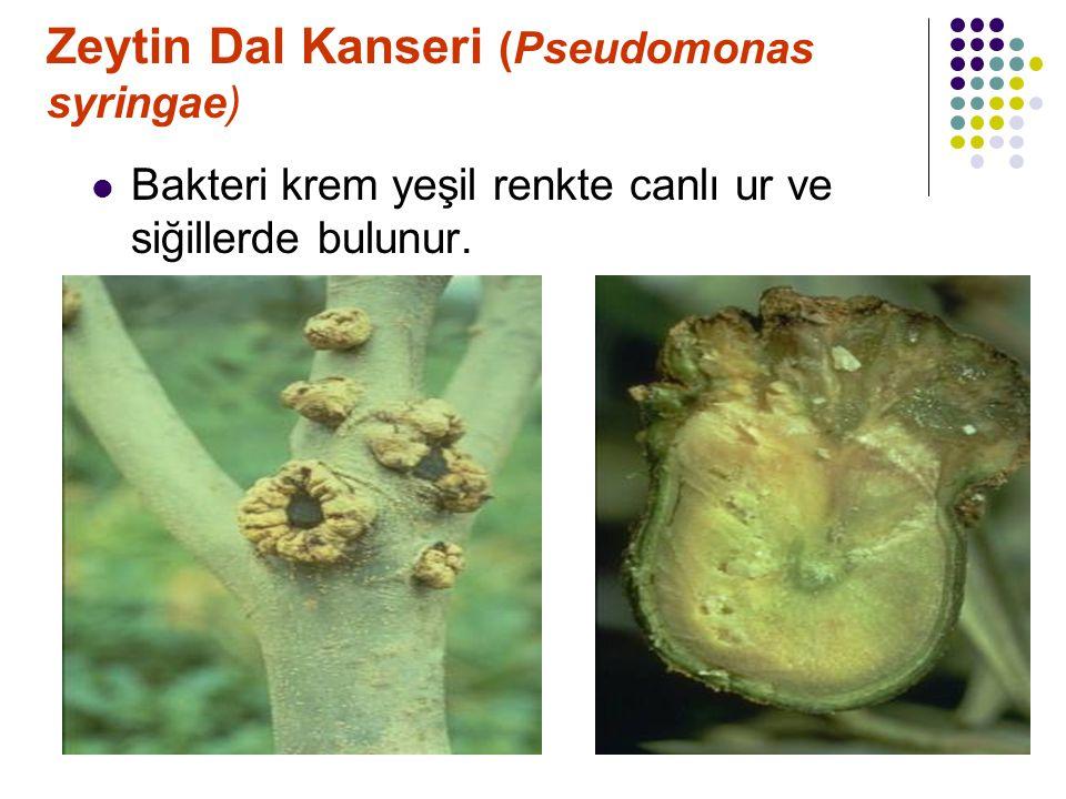 Zeytin Dal Kanseri (Pseudomonas syringae)