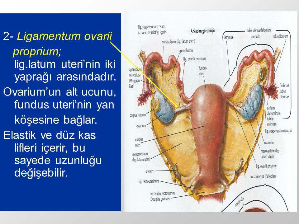 2- Ligamentum ovarii proprium; lig.latum uteri'nin iki yaprağı arasındadır. Ovarium'un alt ucunu, fundus uteri'nin yan.