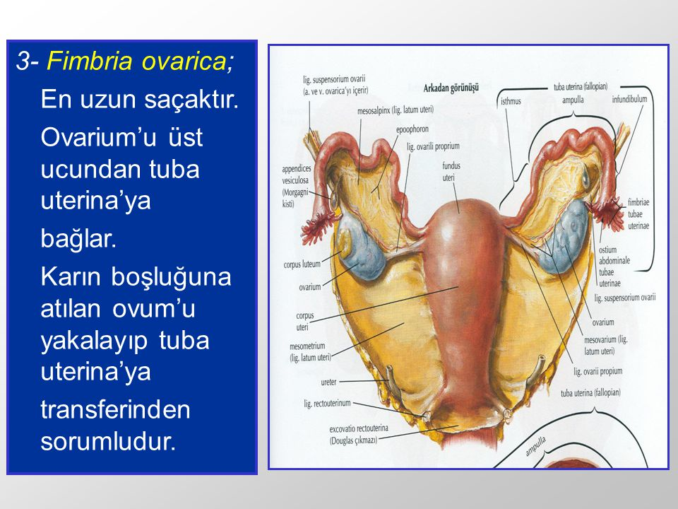 3- Fimbria ovarica; En uzun saçaktır. Ovarium'u üst ucundan tuba uterina'ya. bağlar. Karın boşluğuna atılan ovum'u yakalayıp tuba uterina'ya.