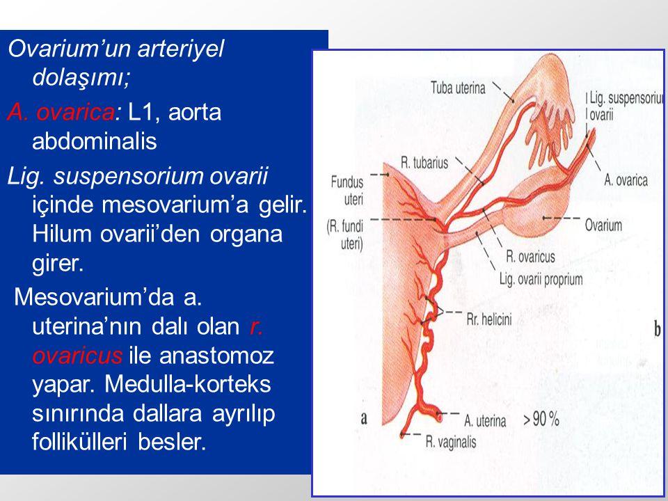 Ovarium'un arteriyel dolaşımı;