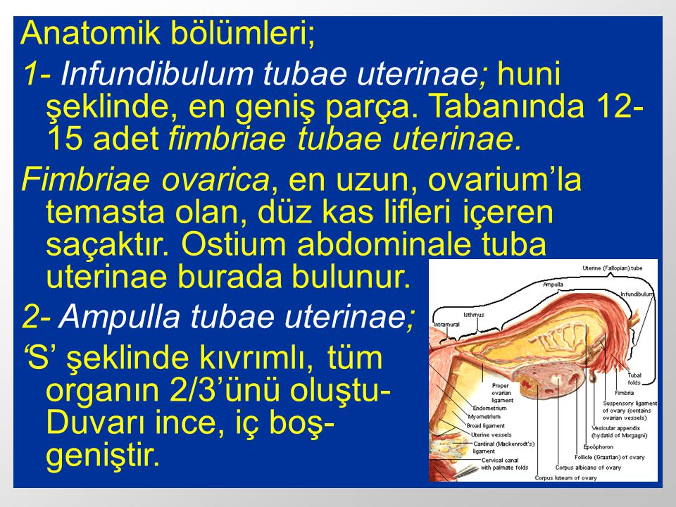 Anatomik bölümleri; 1- Infundibulum tubae uterinae; huni şeklinde, en geniş parça. Tabanında 12-15 adet fimbriae tubae uterinae.
