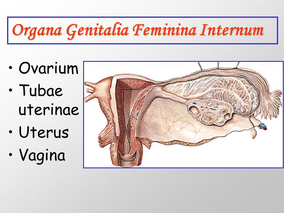 Organa Genitalia Feminina Internum