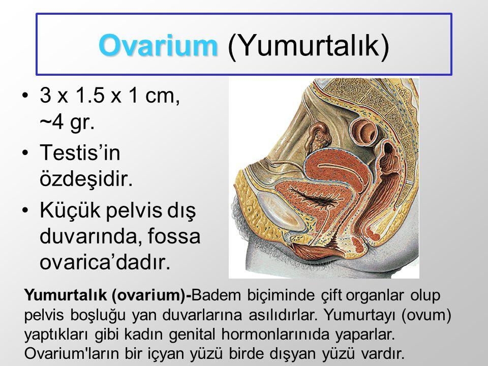 Ovarium (Yumurtalık) 3 x 1.5 x 1 cm, ~4 gr. Testis'in özdeşidir.