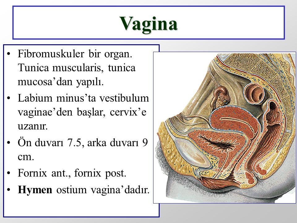 Vagina Fibromuskuler bir organ. Tunica muscularis, tunica mucosa'dan yapılı. Labium minus'ta vestibulum vaginae'den başlar, cervix'e uzanır.