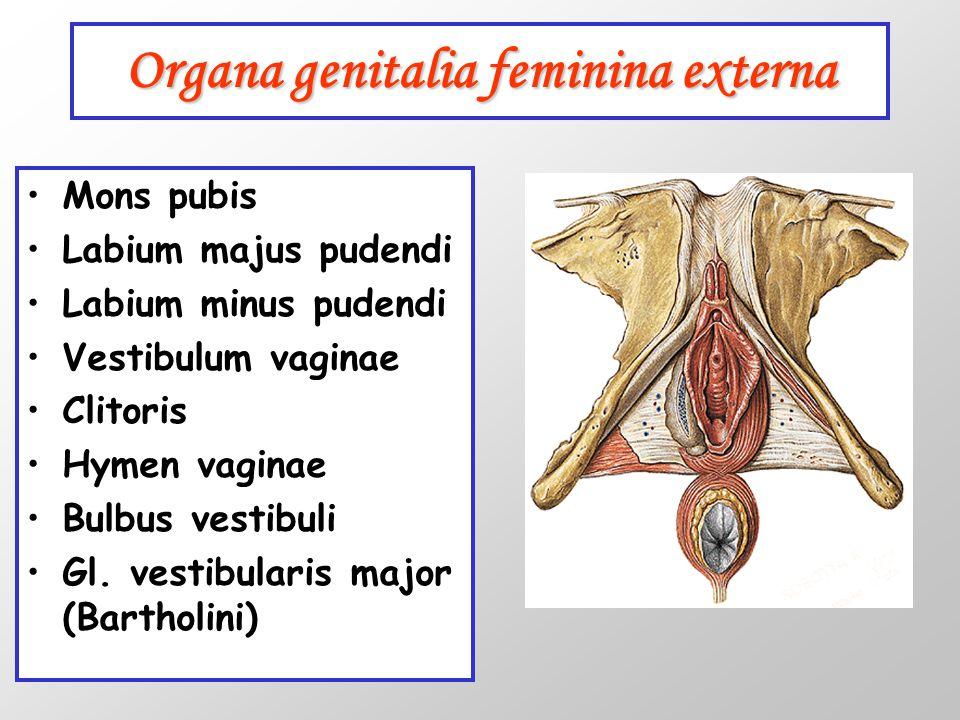 Organa genitalia feminina externa