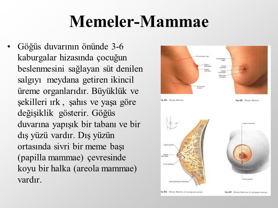 Memeler-Mammae
